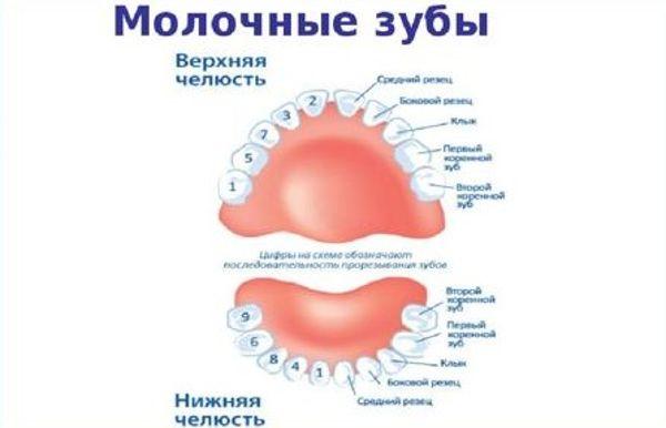 расположение молочных зубов